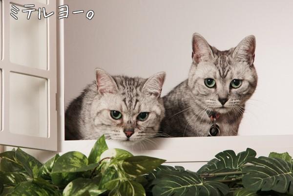 ネコ アメショー