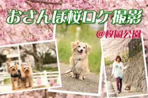 お散歩桜ロケ
