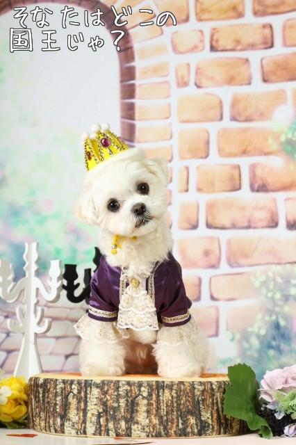 マルチーズ王子