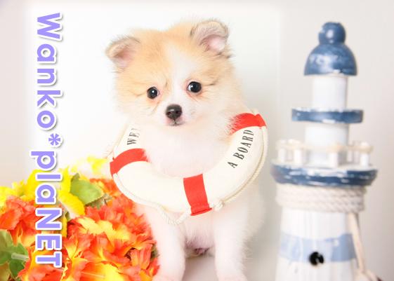 ポメラニアン仔犬
