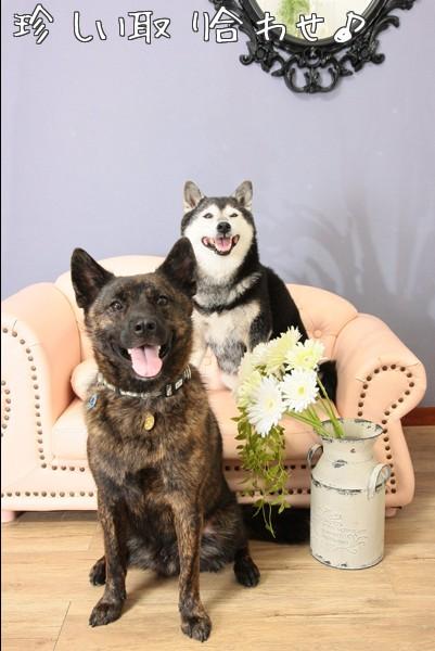 甲斐犬&柴