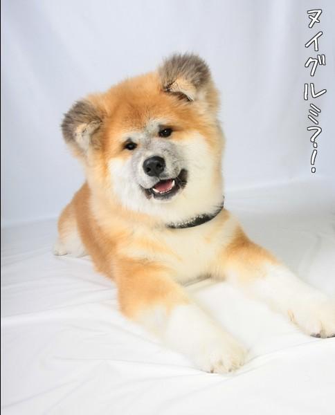 秋田犬 7ヶ月