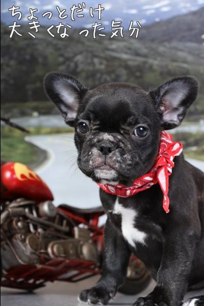 フレブル 子犬