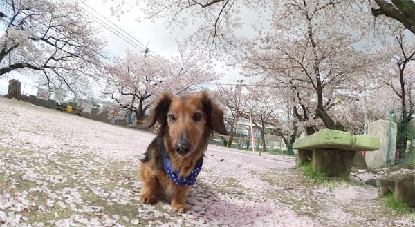 額田公園の桜絨毯