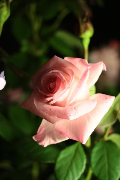うつぼ公園のバラ