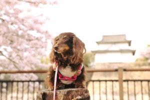 桜とカシス